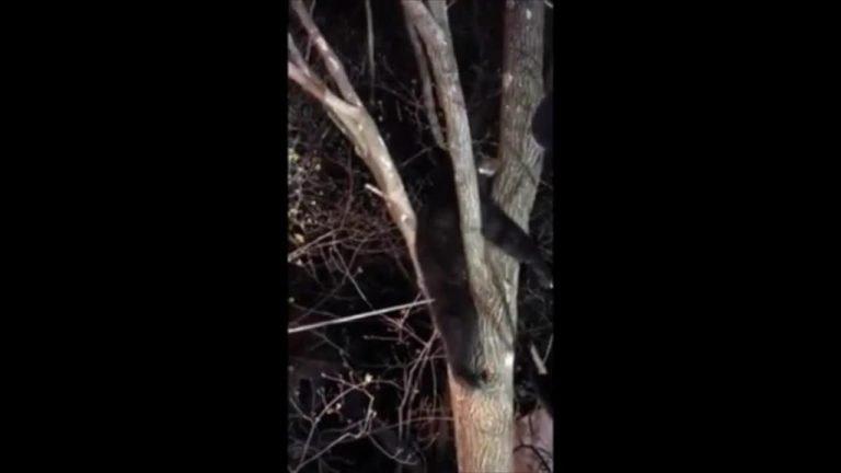 bear stuck in tree in Danbury, Connecticut