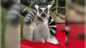 The 21-year-old male lemur named Maki