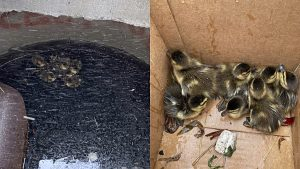 the eight ducklings trapped in the storm drain (left) and then safely in a cardboard box
