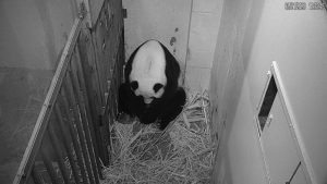 Mei Xiang after giving birth to a Giant Panda cub Friday evening