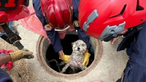 Firefighters carrying Sophie, a small white dog, out of the drain