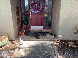 Alligator in Tampa