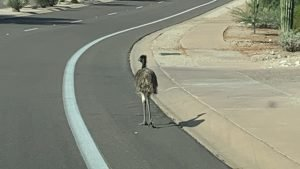 picture of the emu strolling along a bike lane