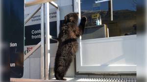 the bear club clawing at border control window