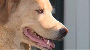 Cleo, a 4-year-old Labrador retriever-border collie mix