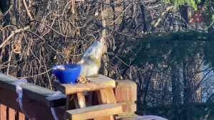 the squirrel losing balance and almost falling over backwards after snacking on the fermented pears