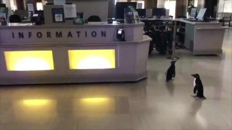 Chicago penguins explore Shedd aquarium during coronavirus shutdown