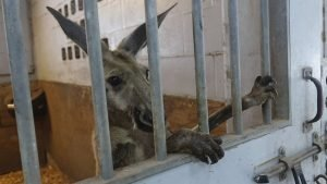 Kangaroo behind bars in a stall at the Mounted Police headquarters in Fort Lauderdale