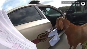 goat chewing paperwork by the deputy's police car