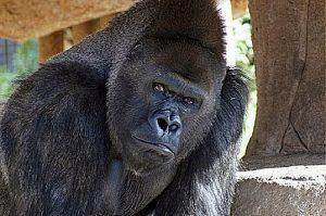 Gorilla attempts burgalry