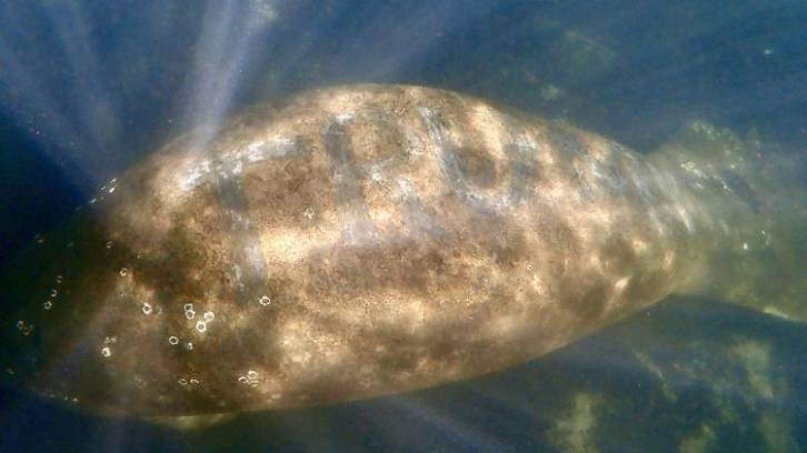 """manatee with """"TRUMP"""" etched in its back"""