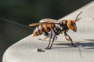 An Asian Giant Hornet wearing a tracking device