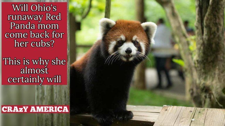 runaway red panda video thumb