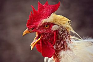 West Virginia rooster led to man's brutal murder