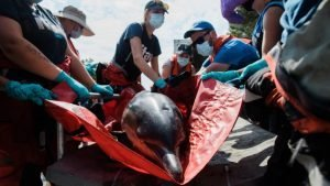 stranded dolphin being stretchered to safety by IFAW volunteers