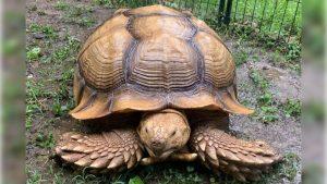 Solomon the African Sulcata tortoise