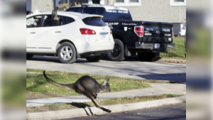 Wally the Wallaroo running past a Peru, Ill. police truck Wednesday after escaping from his owner